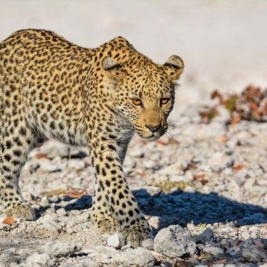 Etosha---Leopard