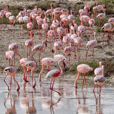 Flamingoes-in-Etosha