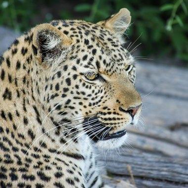Leopard-in-Bwabwata