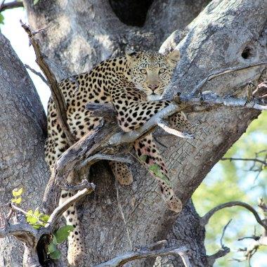 Leopard-in-Mamili