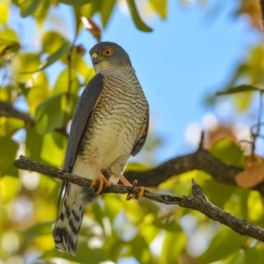 Little-Sparrowhawk-in-Mahango