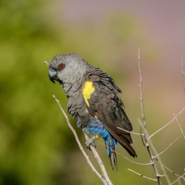 Ruppell's-Parrot-at-Erongo