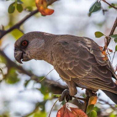 Ruppell's-Parrot-in-Etosha