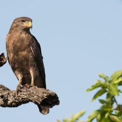 Western-Banded-Snake-Eagle-in-Mudumu