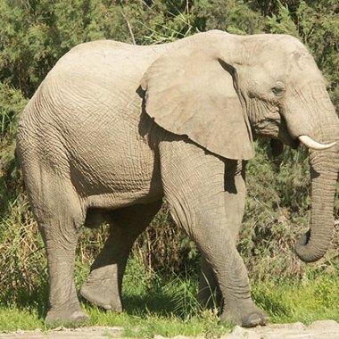 Damaraland-African-Elephant