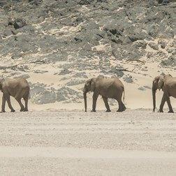 Desert-Adapted-Elephant-(4)