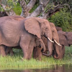 Elephant-drinking-on-the-Zambezi