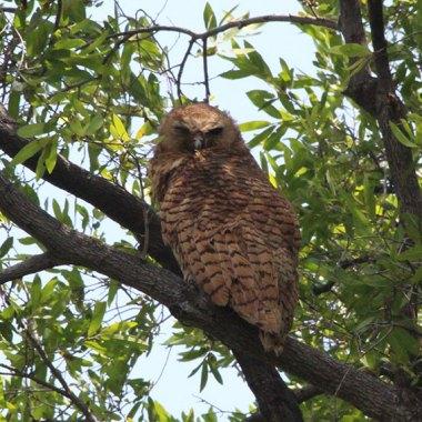 Pel's-Fishing-Owl-on-the-Okavango-river