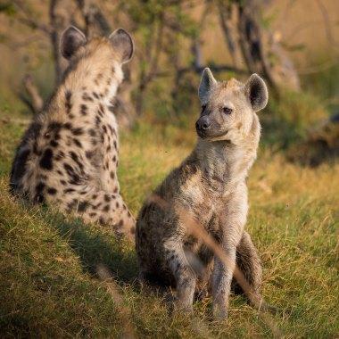 Spotted-Hyaena-in-the-Caprivi