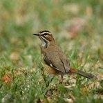 Bearded-Scrub-Robin