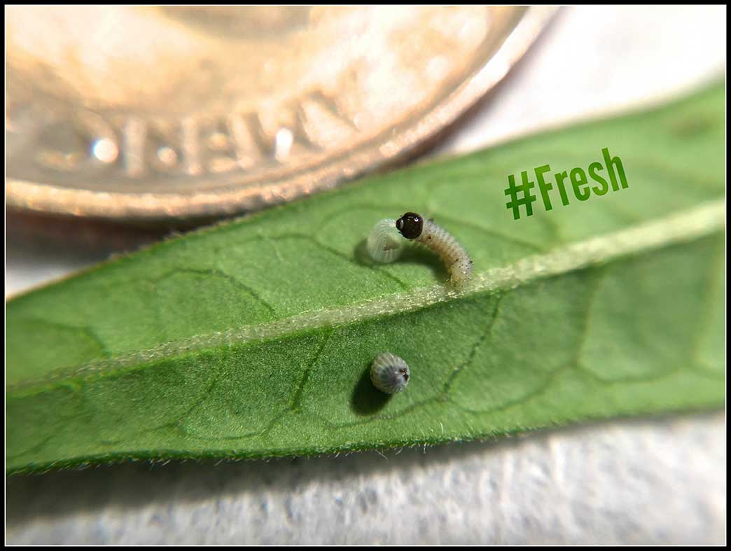 16-Caterpillars-hatching-quarter