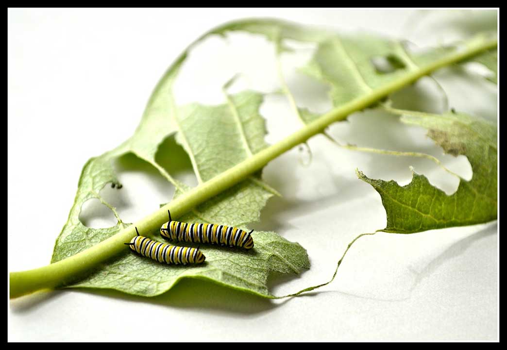 21-Caterpillar-two-2nd-instar