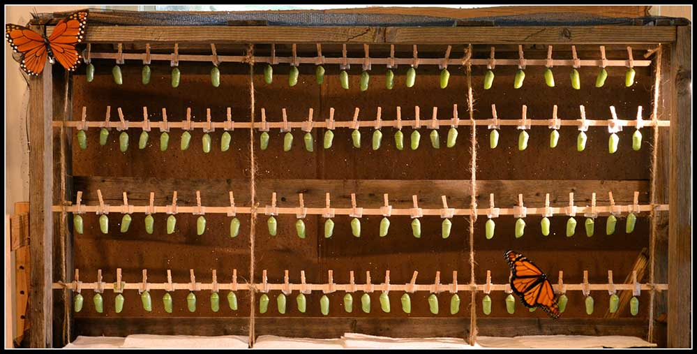 29-Monarch-in-hatching-chamber