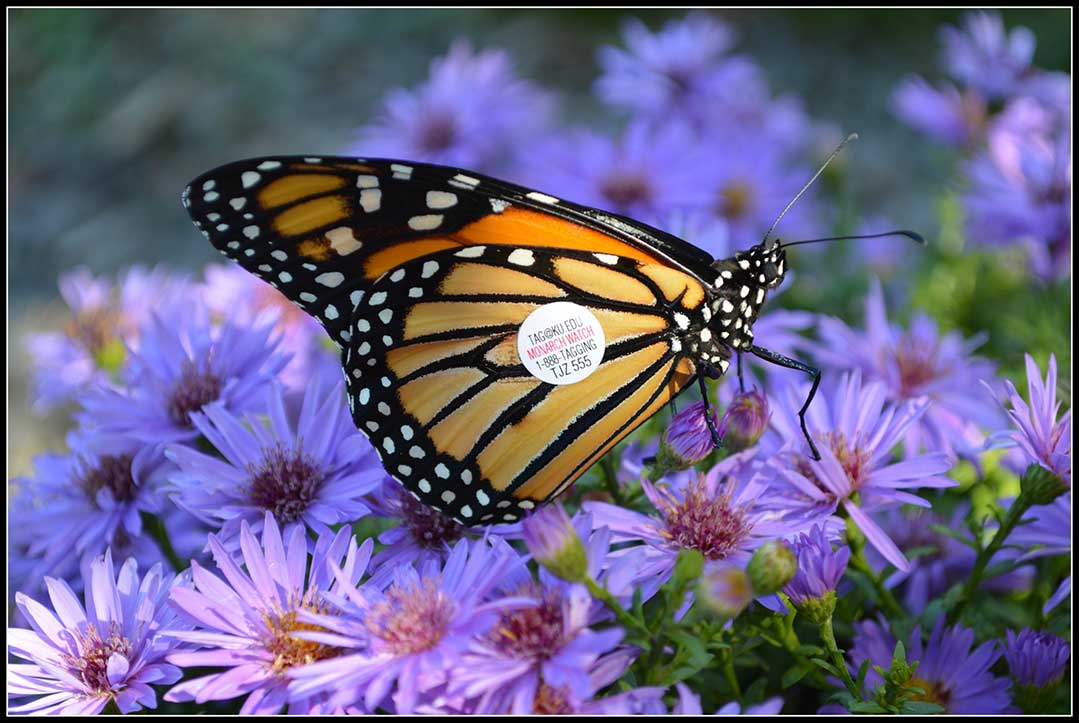 39-Monarch-tagged-on-Aster