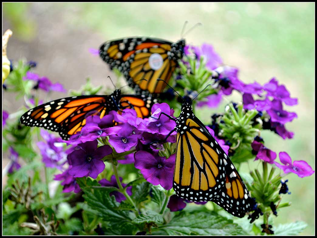 41-Monarchs-three-on-Phlox