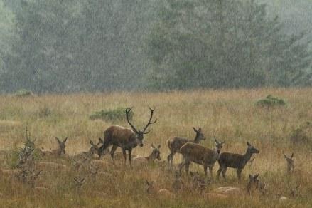 Krondyr trykker sig i græsset i regnvejr