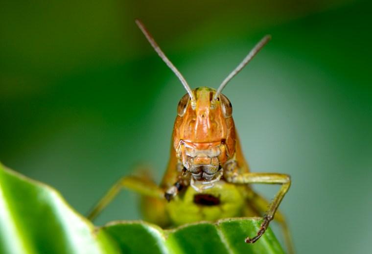 Nærportræt af græshoppe