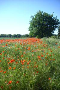 field-of-rapeseeds-82327_960_720