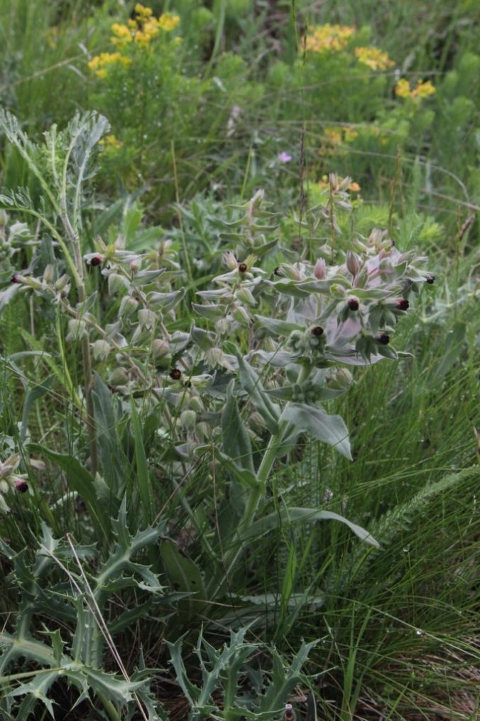 botanik nonea erecta das braune m 246 nchskraut naturgebloggt