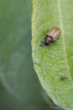 Braungelber Weidenblattkäfer (Lochmaea capreae)
