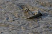 Blue Spotted Mudskipper (Boleophthalmus boddarti)
