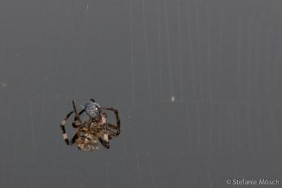 Spinne mit Beute