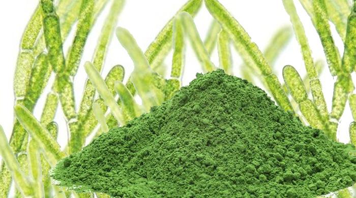 Découvrez la chlorella, une microalgue aux nombreuses vertus santé !