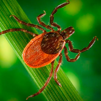 Insecte Lyme