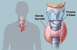 Glande thyroïde