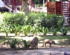 Wildschweine aus dem Wald