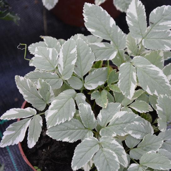 Aegopodium podograria 'Variegata'