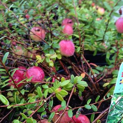 Tranebær 'Big Pearl' fra Naturplanteskolen