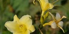 Daglilje-Hemerocallis-lilioaspodelus-450