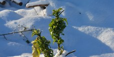 Fleraarig-kaal-Brassica-Daubenton-2-450 (2) – Kopi