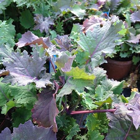 Wild-Garden-Kale-450
