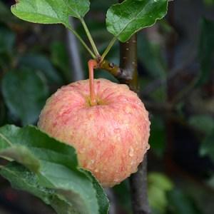 Dyrkning af æbler og anden frugt @ Naturplanteskolen | Hedehusene | Danmark