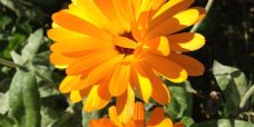 Calendula officinalis – Morgenfrue