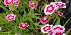 Dianthus barbatus Baby Doll Studenternellike