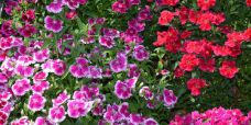 Dianthus chinensis Kinesernellike