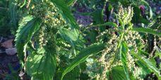 Urtica diotica ssp. diotica var. holoserica Hrmloes stor naelde