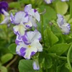 Hornviol - planteportræt