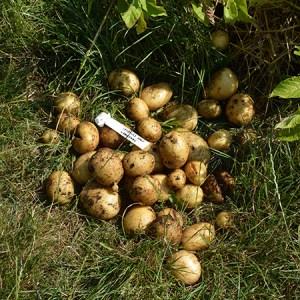 Kartofler af egen høst fra Naturplanteskolen