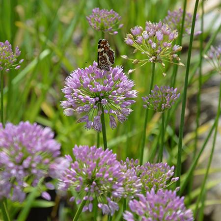 Allium, Kamløg 'Summer Beauty'