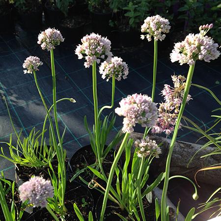 Allium, Kamløg 'Suger Melt'