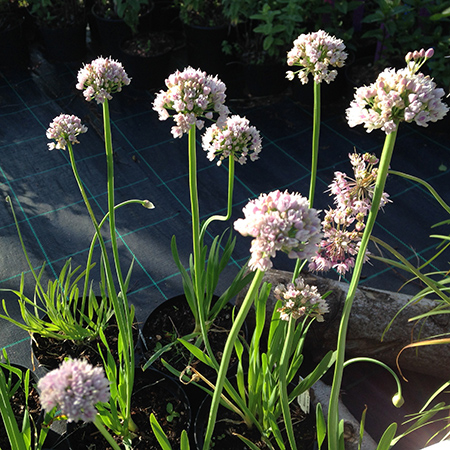 Allium, Kamløg 'Suger Melt'
