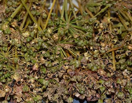 Allium løgfrø-Naturplanteskolen