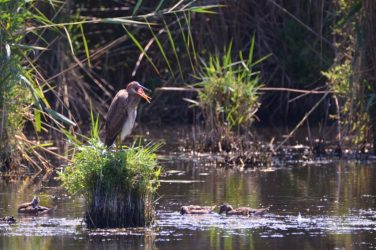 purpurreiher schutzgebiete