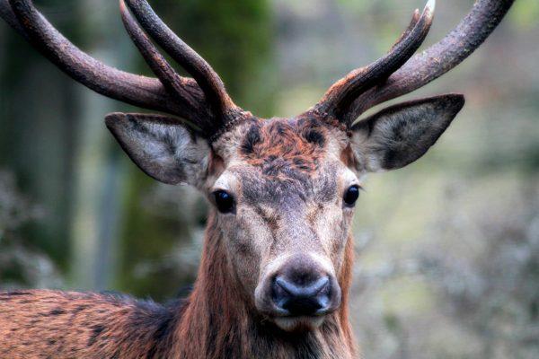 rotwild hirsch säugetier naturschutzgebiet rotwildpark