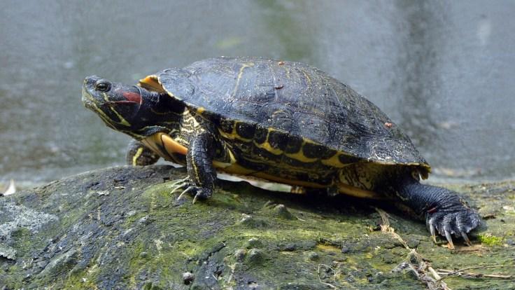rotwangen-schmuckscildkröte