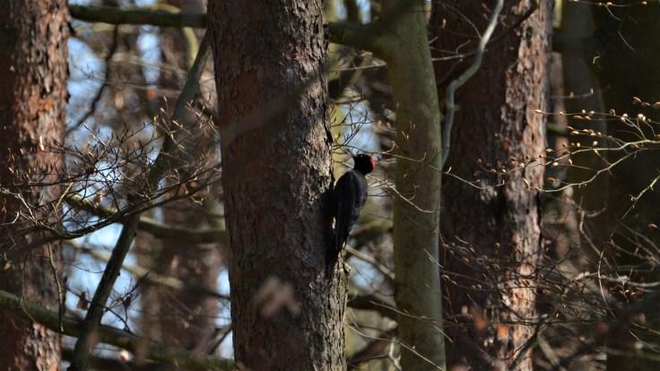 naturschutzgebiet im mördbacher grund von darmstadt schwarzspecht